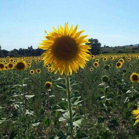 Sunflower field, Luberon