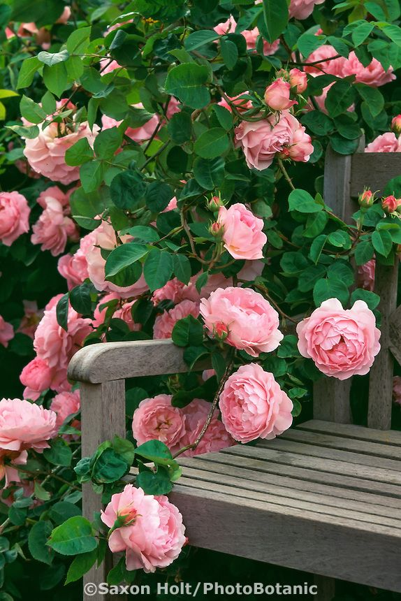 Pink flowering English Shrub Rose, 'Constance Spry' on garden bench #Garden #Roses