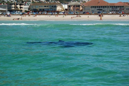 Shark at Fish Hoek Beach