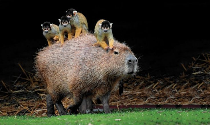 Squirrel monkeys ride on the back of a capybara (the world's largest rodent) at the Beekse Bergen Safari Park in the Netherlands. The two species have shared an enclosure for eight years now. http://pops.ci/XzMoYR