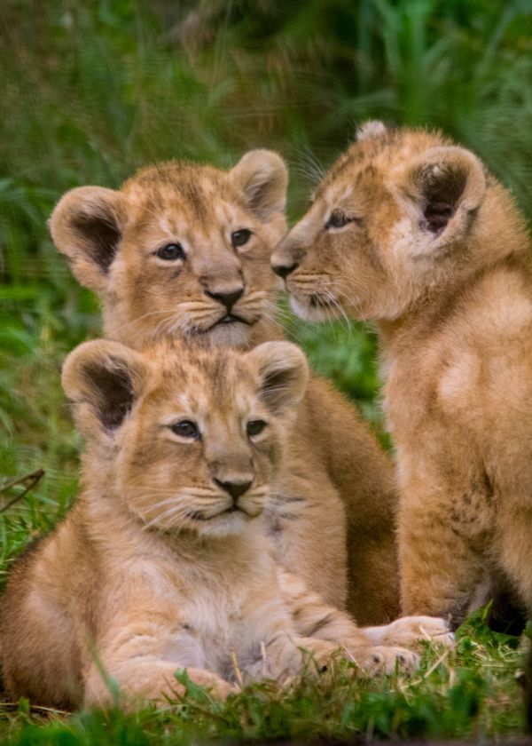 These rare Asiatic Lion cubs are three times the fun at Cotswold Wildlife Park.  See more photos and video at ZooBorns.com and at http://www.zooborns.com/zooborns/2016/08/lion-triplets-are-three-times-the-fun.html