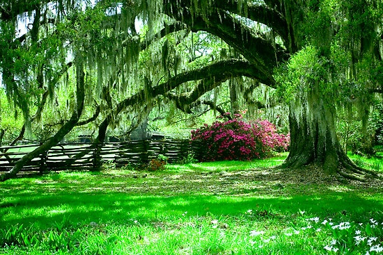 Charleston, South CarolinaSouthern Trees