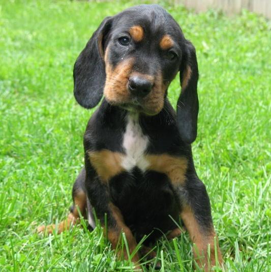 Beagle x Walker Hound Pup. #puppies #dog #beagle #walkerhound