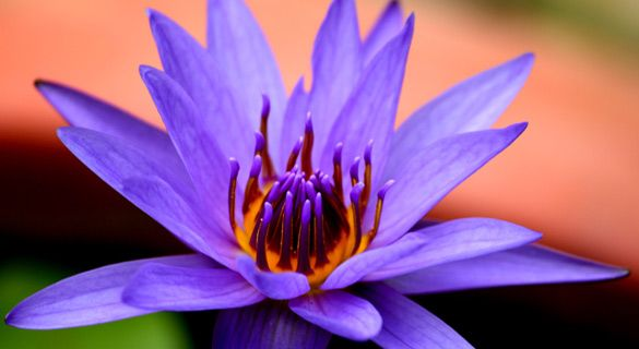 The meanings of the different colors of the lotus flower in Buddhism