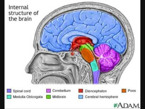 Brainstem and Pons | Neuroanatomy | Pinterest | The brain ...