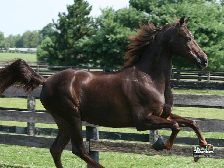 13 best Horses - Color - Chestnut (Liver) images on ...