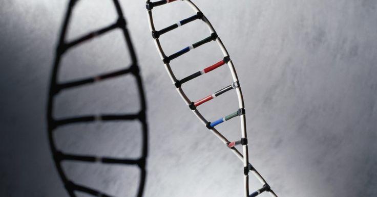 Las diferencias entre la codificación y los moldes de cadenas. El ácido desoxirribonucleico, ADN, contiene la información genética que determina cómo los organismos crecen, se desarrollan y funcionan. Esta molécula de doble cadena se encuentra en todas las células vivas y se asemeja a una escalera de caracol. La información genética del organismo se expresa como proteína que tienen funciones específicas en ...