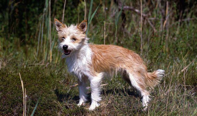 Portuguese Podengo photo | Portuguese Podengo Dog Breed Information