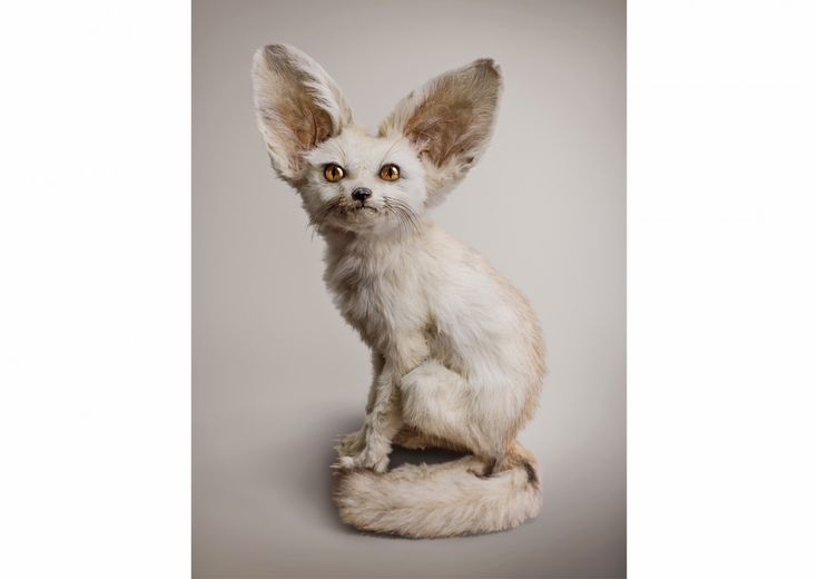 Vincent Furnier, Post Natural History, WHITE FENNEC [Zerdas hypnoticus] Ability to access and control mind, 2015.