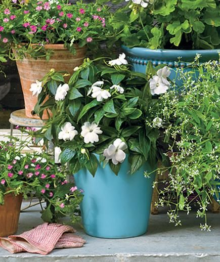 This variety of impatiens, with its showy flowers, is uniquely versatile. It can handle some sun, unlike the more commonly found species, which like only shade. Also self-cleaning