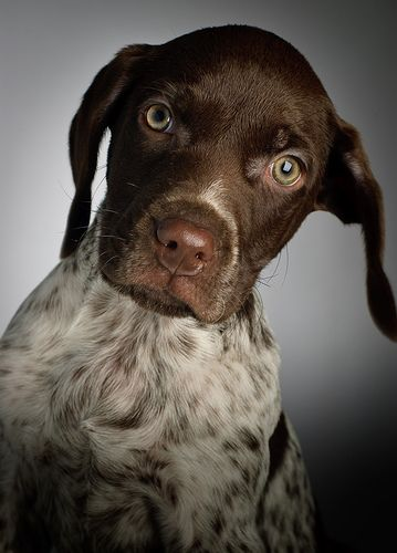 German Short-haired Pointer.