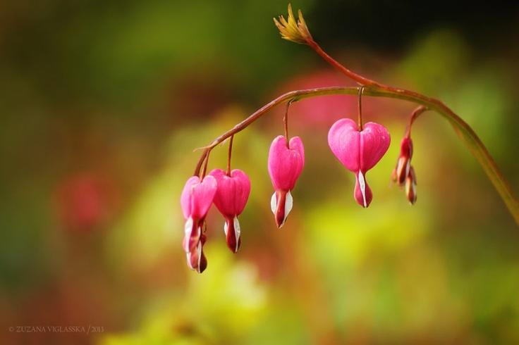 Srdcovka nádherná (Dicentra spectabilis)   Bleeding hearts