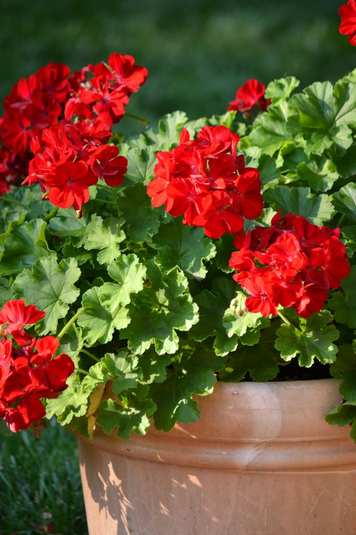 Potted geraniums ...