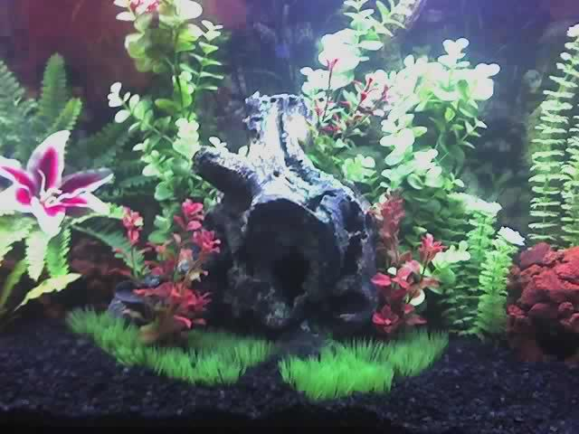 picture of fish tank with black gravel | cichlids.com: Tank examples: Tropical Fish Tank For Cichlids 55 Gallon