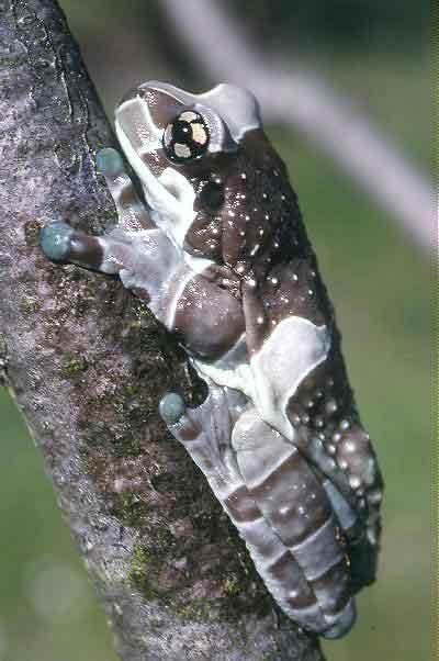 CalPhotos: Trachycephalus resinifictrix; Milk Frog (captive Bred)