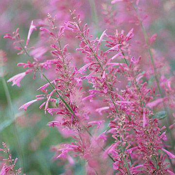 Hummingbird mint smells like double bubble and is a great desert plant.