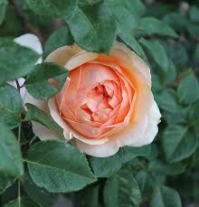 Resultado de imagen para mi jardin de rosas bellas