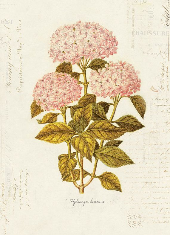 vintage botanical print of hydrangeas 1