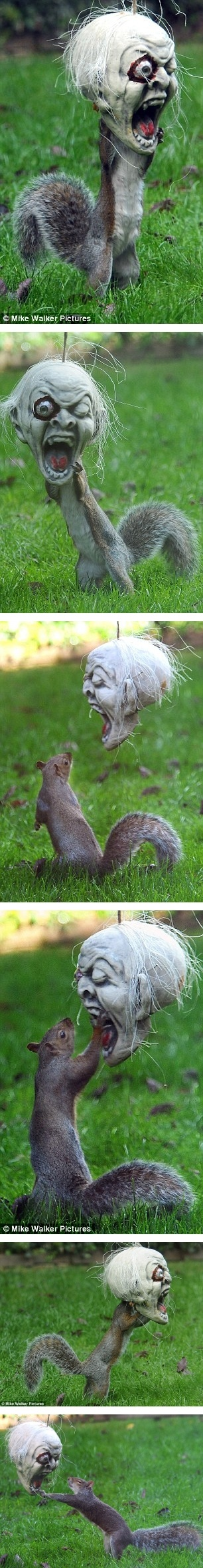 """Fake -  """"Squirrel terrorizes neighborhood."""" - The true story is as follows: The grey squirrel turned up in the garden of Vicky Freeman's home in Fareham, Hamshire, and made short work of the treats she'd hidden inside the  macabre mask.The 54-year-old grandmother said: """"I always hang stuff up in my garden for the kids at Halloween but was surprised to see a squirrel so fascinated by the macabre skull."""" I included the series of images. He never left the yard............"""