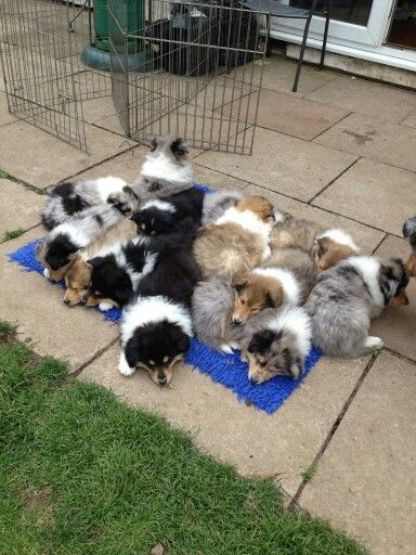 """What I imagine Heaven looks like!"" (photo by Jemima Rose Laycock) 2 beautiful litters from Aldredelie Collies in Cheshire, UK"