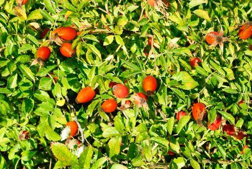 Plody šípku pomáhají při paradentóze a onemocnění dásní, revmatismu, mají…