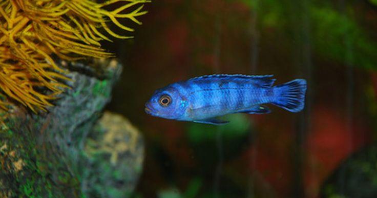 ¿Qué tan rápido crecen los cíclidos?. Los cíclidos son un tipo popular de peces tropicales de agua dulce para acuarios caseros, y al menos un grupo dentro de esas especies, la tilapia, también se cultiva para la alimentación. Hay cientos de variedades de cíclidos, aunque sólo un número limitado se mantienen en acuarios domésticos. Cada una de estas variedades tiene sus propias ...