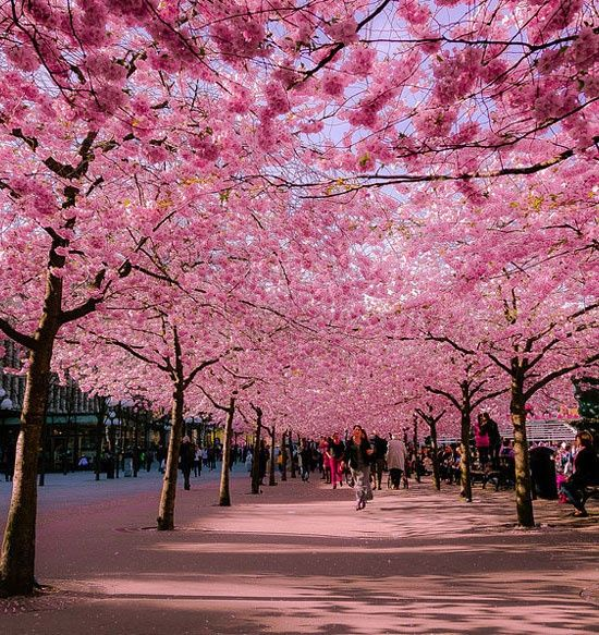 Cherry Blossom Avenue, such delicate pink petals that with just slightiest breeze they rain down on you in a pink cloud. In late summer the smallest cherry's on the limbs