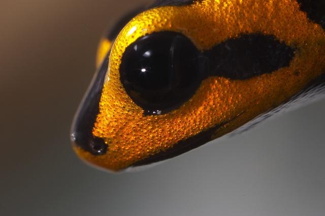 Poison dart frog close-up