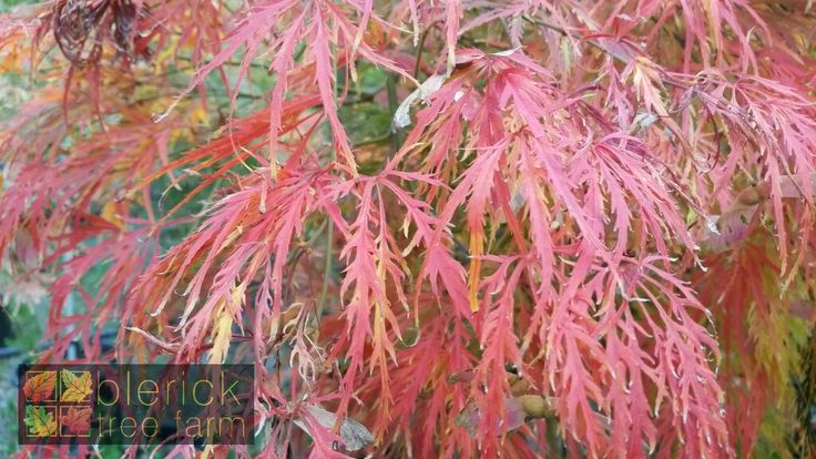 Acer palmatum dissectum 'Viridis' – Green Weeping Japanese Maple – Purchase Bare Rooted Trees Online