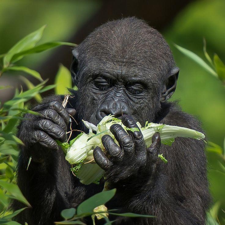 Indigo Western Lowland Gorilla Durrell Wildlife