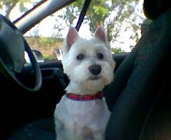 go for a ride!: West Highlanders, I M Ready, Highlanders White, Westies Forever, Dogs S, Aww Animal, White Terriers