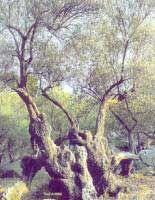 Acebuche - Olea europaea var. sylvestris