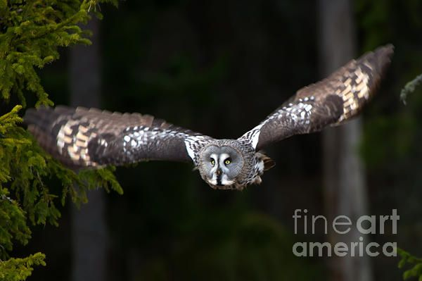The Great Grey Owl (Strix nebulosa) focus on the target, a vole. In Uppland, Sweden