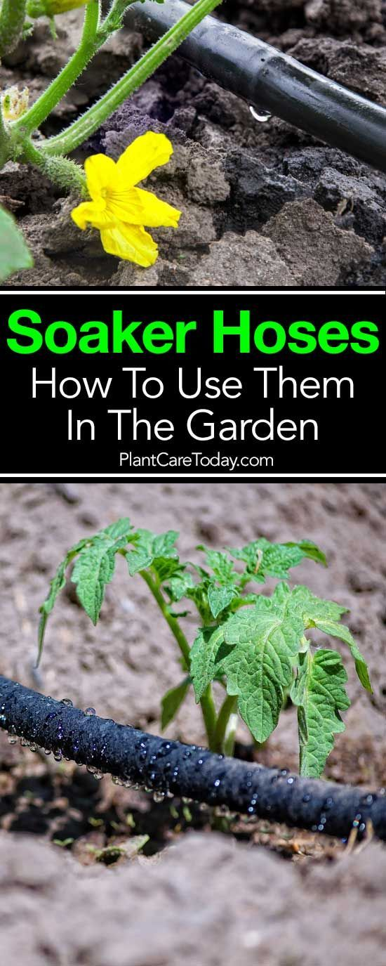 Soaker hoses - an efficient way to irrigate plants, reducing water waste as water slowly seeps through tiny pores, no runoff, less water evaporation. [MORE]