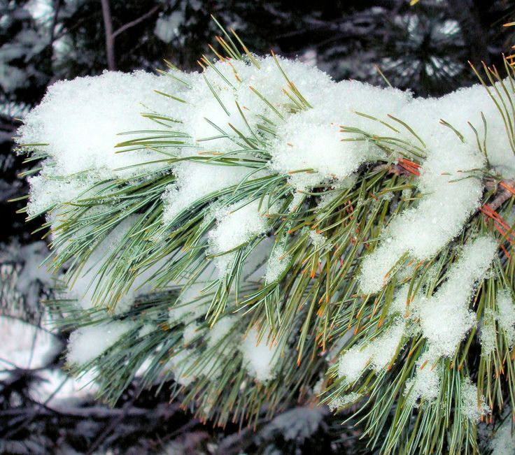 """Evergreens And Snow 2:  An evergreen branch, long needles drooping gracefully, coated with a fluffy layer of crystalline snow.  Image size 1950 x 1725px, prints at 6.5 x 5.75"""".  Available for use, free, under a Creative Commons BY license."""