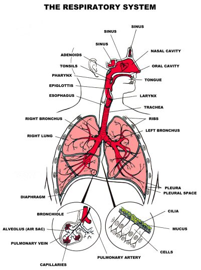 Overview Cells in the body require oxygen to survive. Vital functions of the body are carried out as the body is continuously supplied with oxygen. Without the respiratory system exchange of gases …