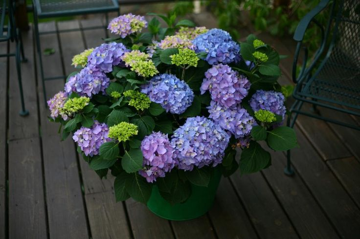 Cityline 'Venice' Hydrangea  Like Cityline 'Paris Rapa', the bigleaf hydrangea 'Venice' hails from Germany. Extremely disease-resistant, it opens deep pink flowers that turn green as they mature. Give it partial shade to full sun in zones 5 to 9; at only 1 to 3 feet tall, it's ideal for containers.