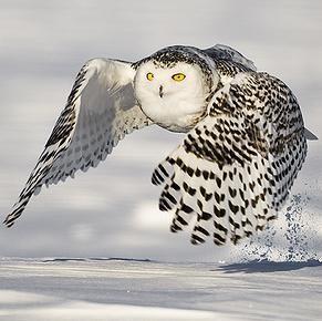 Sowa Śnieżna | Wyjdźcie przed dom, a zobaczycie ptaki!