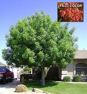 Pistacia chinensis. Chinese Pistache. Non-native evergreen shade tree. Needs regular water. Dependable fall color in desert. Good cultivars also available.