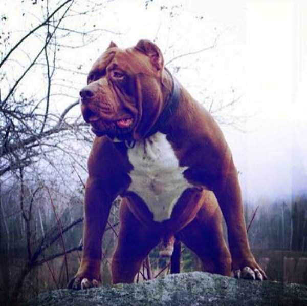 Best Hulk Images On Pinterest Board Couple And Pit Bull - The worlds biggest pit bull just became a dad wait until you see his puppies