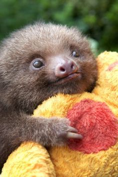 """This list has nothing to do with the deadly sin of """"sloth,"""" here you'll only find cute pictures of sloths, to brighten your day, and remind you to take it easy and relax a little, like the sloths do."""