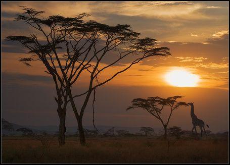 Фото Саванна с акациями и жираф на закате