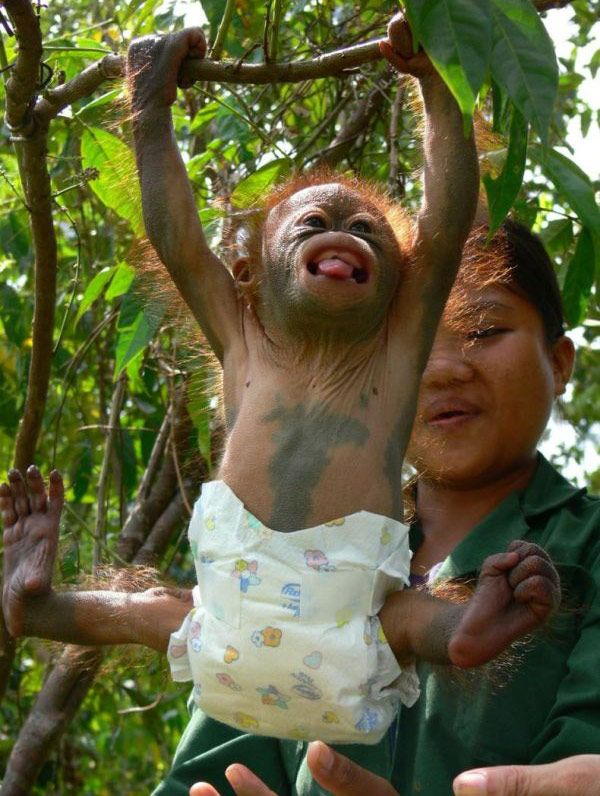 funny baby orangutan