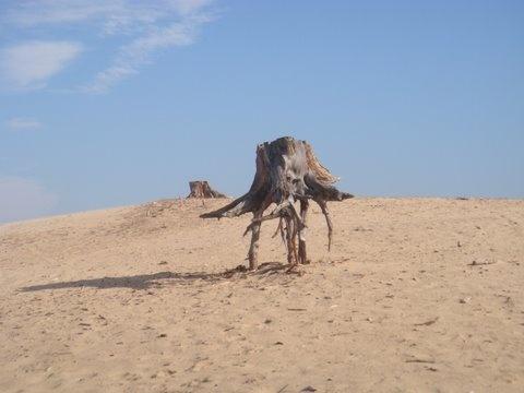 tree root - Veluwe