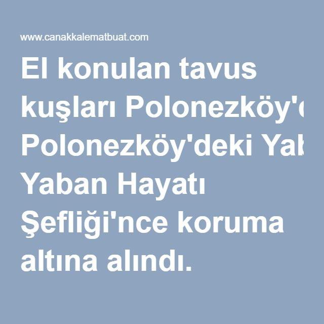 El konulan tavus kuşları Polonezköy'deki Yaban Hayatı Şefliği'nce koruma altına alındı.