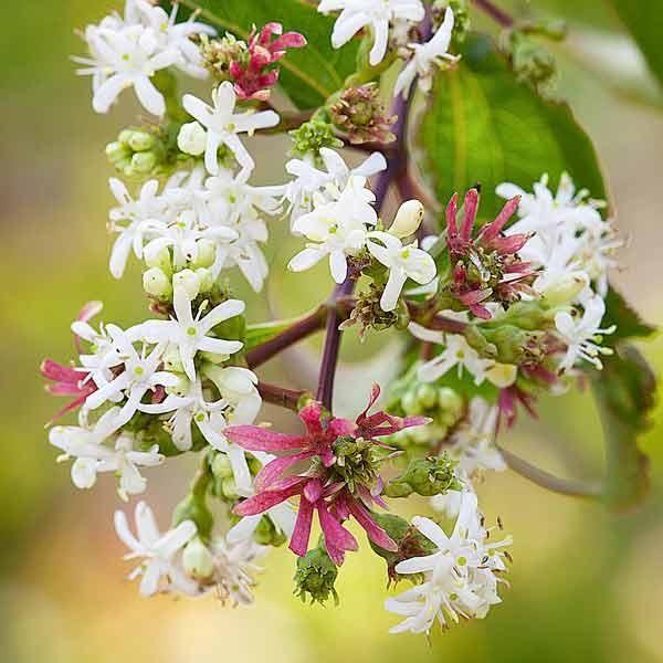 115 Best Fragrant Flowers & Leaves Images On Pinterest
