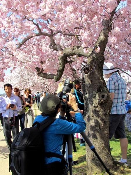 W Waszyngtonie zakwitły tysiące wiśniowych drzewek, podarowanych przed laty przez Japonię. Fot. radio RMF FM