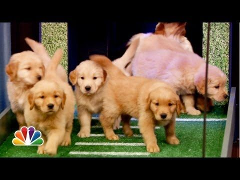 Puppies Predict the 2013 NFL Season Opener - YouTube | These puppies are just TOO adorable