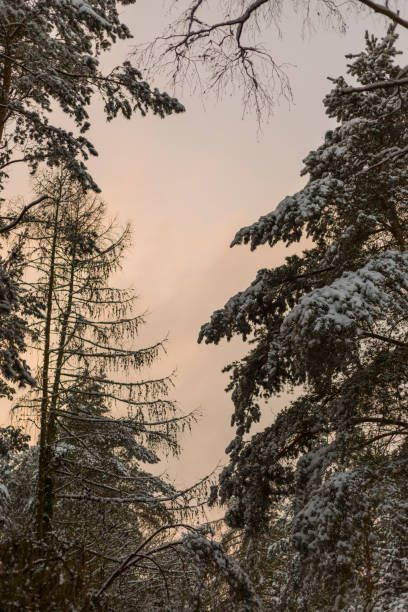 sonnenaufgang im kiefernwald