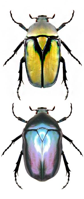 Photos - BUGS & INSECTS - Rhomborrhina resplendens, two different color forms